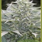 Mandala seeds Hashberry Regular
