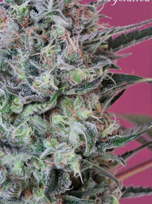 Mandala seeds Krystalica Regular