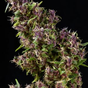 Mandala seeds Purple Paro Valley Feminised