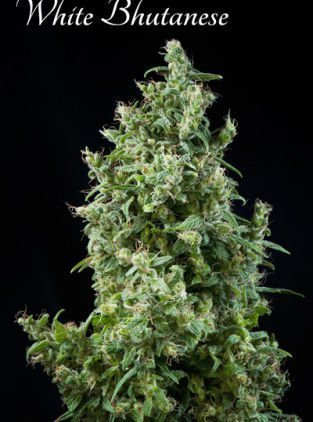 Mandala seeds White Bhutanese Feminised