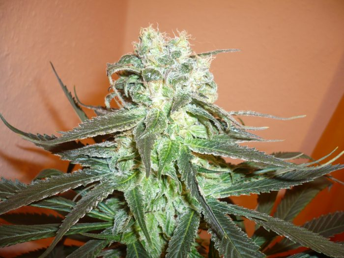 KC Brains Mango Feminised Seeds