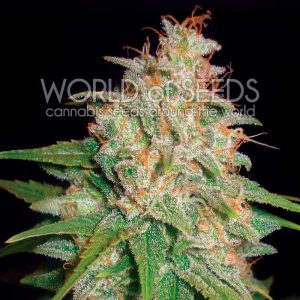 World of Seeds Mazar x White Rhino Feminised Seeds