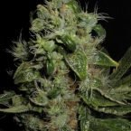 Seedsman Mazari Feminised Seeds