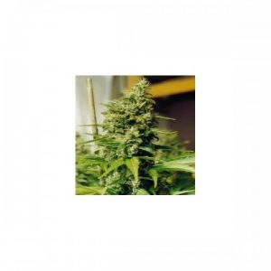 Nirvana Seeds Medusa Regular Seeds