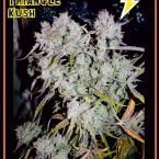 Mephisto Genetics Auto Triangle Kush Feminised Seeds