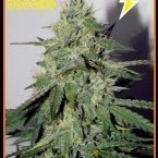 Mephisto Genetics Chemdogging Auto Feminised Seeds