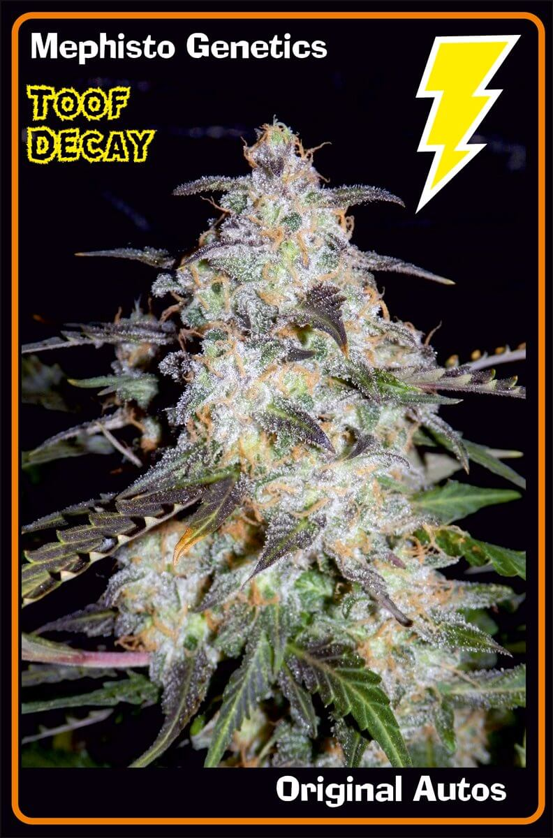 Mephisto Genetics Toof decay Auto Feminised Seeds