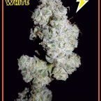 Mephisto Genetics Walter White Auto Feminised Seeds