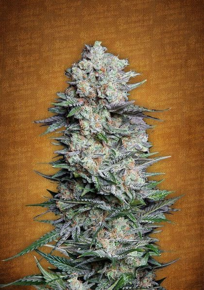 Fast Buds Mexican Airlines feminised seeds