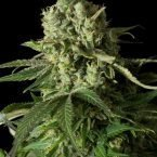 Dinafem Moby Dick CBD Feminised Seeds