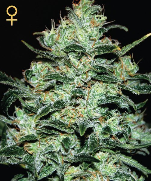 Greenhouse Seed Co. Moby Dick Feminised Seeds