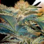 Sweet Seeds Mohan Ram Feminised Seeds