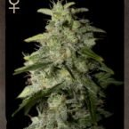Strain Hunters Money Maker Feminised Seeds