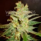World of Seeds Northern Light x Big Bud Feminised Seeds