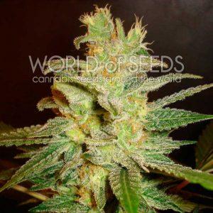 World of Seeds Northern Light x Big Bud Feminised Seeds