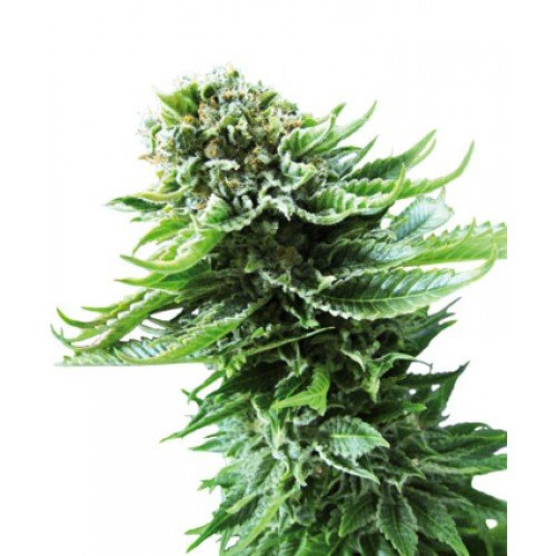 Sensi Seeds Northern Lights AUTO Feminised Seeds