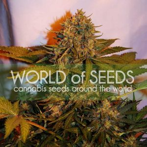 World of Seeds Northern Light x Big Bud AUTO Feminised Seeds