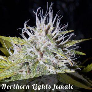 Bulk Seeds Northern Lights female seeds