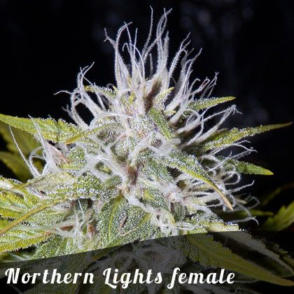 Bulk Seeds Northern Lights female seeds