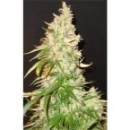 Seedsman Northern Soul Feminised Seeds