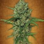 Fast Buds Northern Express feminised seeds