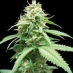 Obsession Feminised Seeds