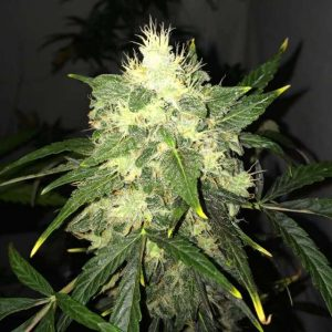 Nirvana Seeds OG Kush AUTO Feminised Seeds