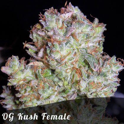 Bulk Seeds OG Kush female seeds