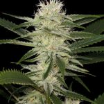 Free Original Amnesia Feminised Seeds x 5
