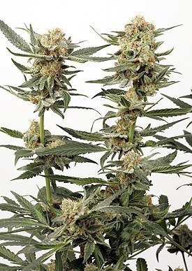 Dutch Passion Ortega Indica Feminised Seeds