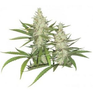 Dutch Passion Outlaw Feminised Seeds