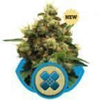 Royal Queen Seeds Painkiller XL Feminised Seeds