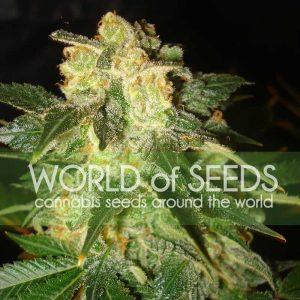 World of Seeds Pakistan Ryder Autoflowering Feminised Seeds