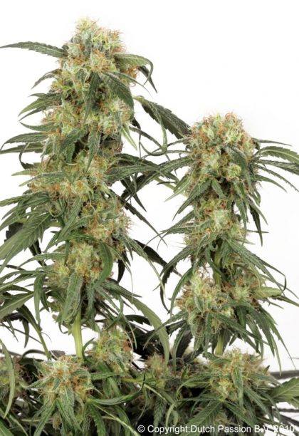 Dutch Passion Pamir Gold Feminised Seeds