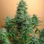 Nirvana Seeds Papaya Regular Seeds