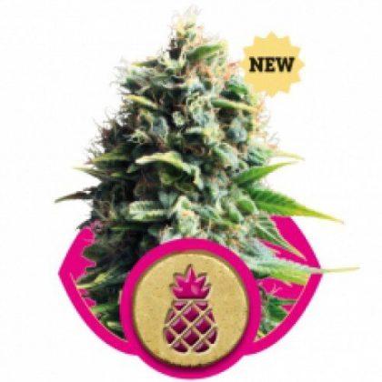 Royal Queen Seeds Pineapple Kush Feminised Seeds