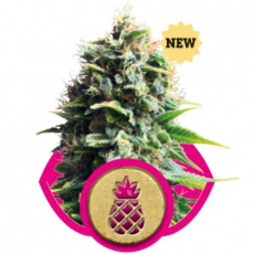 Royal Queen Seeds Pineapple Kush Feminised Seeds