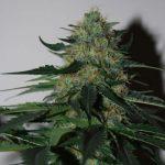 Free Pineapplegum female seed x 1