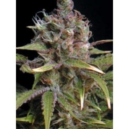 Seedsman Power Africa Feminised Seeds -5