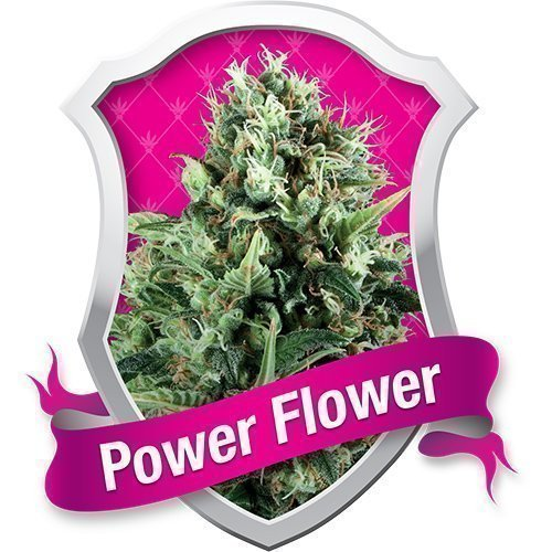 Royal Queen Seeds Power Flower Feminised Seeds