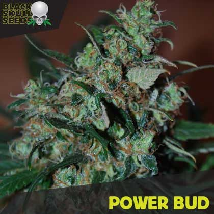 POWER BUD FEMALE