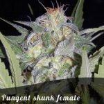 Pungent skunk female seeds
