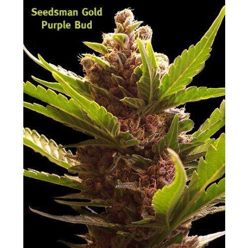 Seedsman Purple Bud Regular Seeds