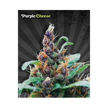 Auto Seeds Purple Cheese