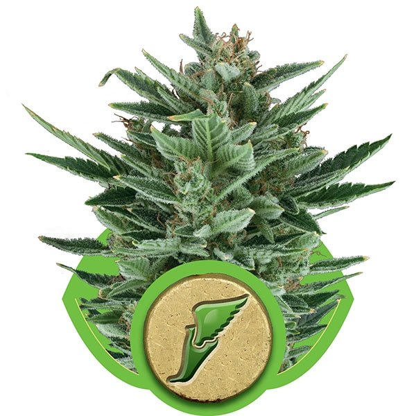 Royal Queen Seeds Quick One Automatic Feminised Seeds