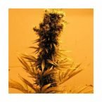 Nirvana Seeds Raspberry Cough Regular Seeds
