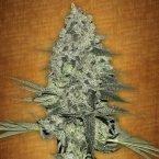 Fast Buds Rhino Ryder feminised seeds