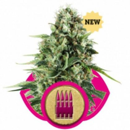 Royal Queen Seeds Royal AK Feminised Seeds