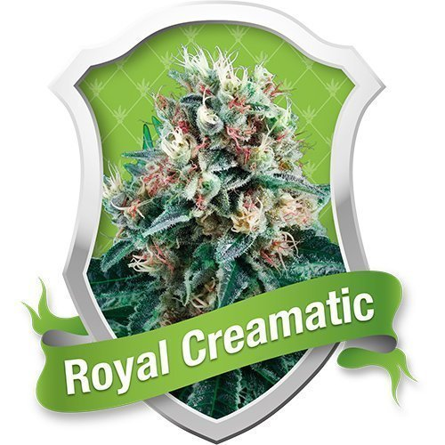 Royal Queen Seeds Royal Creamatic Automatic Feminised Seeds