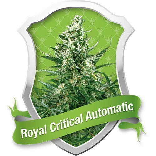 Royal Queen Seeds Royal Critical Automatic Feminised Seeds